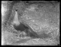 Peacock, Baltimore, Maryland, undated (ca. 1917-1918).
