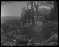 Cattle near Isham Stable spring, about 500 feet from Spuyten Duyvil Creek, Inwood, New York City, June 9, 1898.