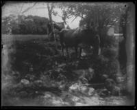 Cattle near the Isham stable spring, about 500 feet from Spuyten Duyvil Creek, Inwood, New York City, June 29, 1898.