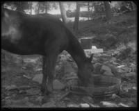 Horse drinking at Lechthaler's spring, west of Fort Washington Road near 168th Street, New York City, September 21, 1897.