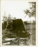 Cattle drinking from a spring near Southern Boulevard and Leggett's Lane, Bronx, New York City, October 19, 1897.