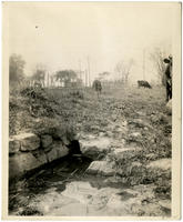 Cattle grazing near a spring at Whitlock Avenue and E. 156th Street, Bronx, New York City, October 19, 1897.