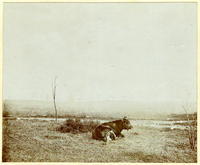 Unidentified cow or steer and dog, seated in a field, undated [c. 1893-1902?].