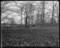 Axis deer [chital], New York Zoological Gardens [the Bronx Zoo], Bronx, N.Y., 1899.