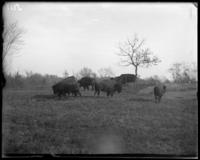 Bison grazing, New York Zoological Gardens [the Bronx Zoo], Bronx, N.Y., 1899.