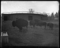 Bison in front of the bison house, New York Zoological Gardens [the Bronx Zoo], Bronx, N.Y., 1899.