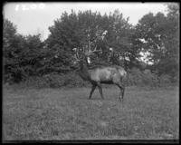 American elk, New York Zoological Gardens [the Bronx Zoo], Bronx, N.Y., 1899.