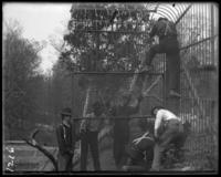 Building animal cages, New York Zoological Gardens [the Bronx Zoo], Bronx, N.Y., 1899.