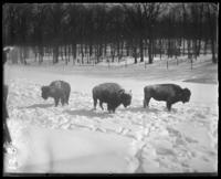 Bison in snow, New York Zoological Gardens [the Bronx Zoo], Bronx, N.Y., 1899.