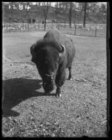 Bison, New York Zoological Gardens [the Bronx Zoo], Bronx, N.Y., 1899.