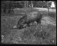 Animal [capybara?] eating, New York Zoological Gardens [the Bronx Zoo], Bronx, N.Y., 1899.