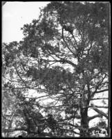 A tree, New York Zoological Gardens [the Bronx Zoo], Bronx, N.Y., 1899.
