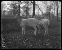 Albino fallow deer, New York Zoological Gardens [the Bronx Zoo], Bronx, N.Y., 1899.