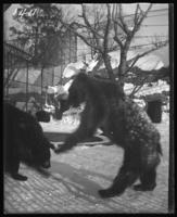 Bears in a snowy enclosure, New York Zoological Gardens [the Bronx Zoo], Bronx, N.Y., 1899.