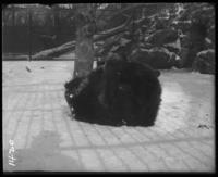 Bears in snow, New York Zoological Gardens [the Bronx Zoo], Bronx, N.Y., 1899.