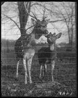 Axis deer [chital], New York Zoological Gardens [the Bronx Zoo], Bronx, N.Y., undated [c. 1899].