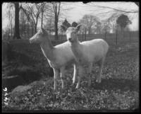 Albino fallow deer, New York Zoological Gardens [the Bronx Zoo], Bronx, N.Y., undated [c. 1899].