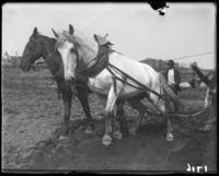 Horses pulling a plow during the construction of Jerome Park, Bronx, N.Y., undated [c. 1905-1906].