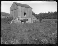 Cow and turkey near a barn, Garrison, N.Y., 1900.