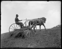 Burns raking hay, Garrison, N.Y., 1901.