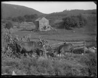 Cows eating corn stalks, Garrison, N.Y., 1902.