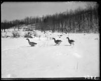 Three geese in the snow, Garrison, N.Y., March 18, 1906.
