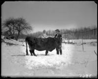 Unidentified baby riding a cow, Garrison, N.Y., March 18, 1906.