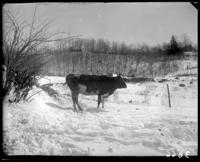 Cow, Garrison, N.Y., March 18, 1906.