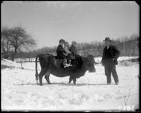 Georgie, Giles, and an unidentified toddler riding a cow, Garrison, N.Y., March 18, 1906.