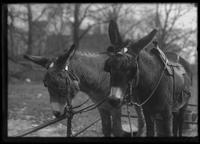 Pair of donkeys (Central Park?), undated (ca. 1913-1914).