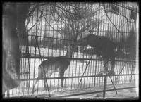 William Gray Hassler feeding a deer though a fence (Central Park Zoo?), winter, New York City, undated (ca. 1913-1914).
