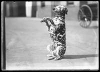 A Bellevue ambulance Dalmatian dog sitting up and begging, New York City, undated (ca. 1911-1922).