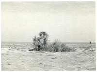 A fig tree in the desert near Gazala